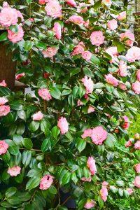 rose verliert knospen